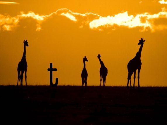 giraffes-sunset-crossley_3686_990x742